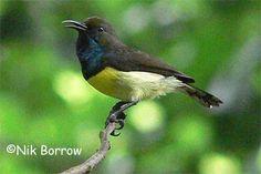 Newton's Sunbird, São Tomé & Príncipe