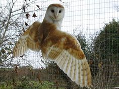 barn owl wings - Google Search