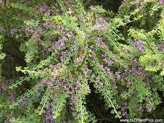 Carmichaelia odorata  scented broom, maukoro - NZ
