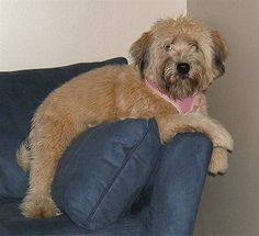 Pictures of Soft Coated Wheaten Terriers along with bios on the dogs. Page 3 Terrier Dog Breeds, Wheaten Terrier, Terriers, Dog Breeds Pictures, Irish Terrier, Dog Varieties, Companion Dog, Dog Wallpaper, Dog Portraits