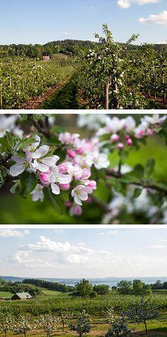Apple orchards in Rudenstams, Småland, Sweden