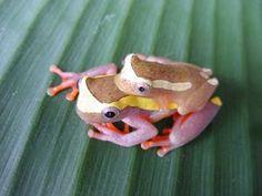 Dendropsophus bifurcus (nome comum: treefrog Alto Amazonas) é uma espécie de rã da Hylidaefamily.