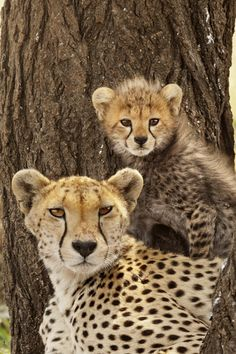 Africa | A cheetah mother with cub in Serengeti National Park. Tanzania | ©Frans Lanting