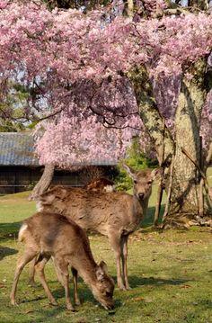 594:「鹿も花見するのかな・・・」@奈良公園