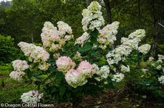 The pee gee start out as an ivory color, but begin taking on a  pink tinge to them which will turn more greenish pink as they fully mature. Description from oregoncoastalflowers.com. I searched for this on bing.com/images