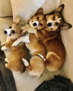 Corgi lovers, Corgi dog lovers, The Welsh Corgi, Pembroke Welsh Corgi Cute Corgi Puppy, Corgi Dog, Cute Puppies, Cute Dogs, Dogs And Puppies, Teacup Puppies, Pomeranian Puppy, Funny Dogs, Cute Funny Animals