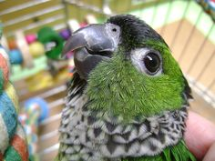 This is Thorin, my black-capped conure
