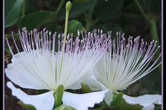 Caper Flowers (Capparis spinosa,) the Caper bush, also called Flinders rose