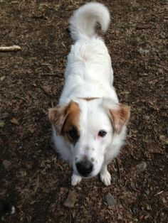 Lattie Border Collie & Australian Shepherd • Adult • Female • Medium The Milo Foundation Willits, CA