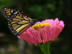 My Butterfly Garden - Sharing My Love of Butterflies through Gardening