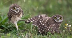 Photo: Judy Lynn Malloch/Audubon Photography Awards - Each year our photo awards deliver an abundance of amazing images. This gallery of 2017 entries gives a glimpse into a variety of avian behaviors. Funny Owls, Funny Birds, Owl Photos, Owl Pictures, Owl Bird, Pet Birds, Owl Facts, Tapestry Nature, Burrowing Owl