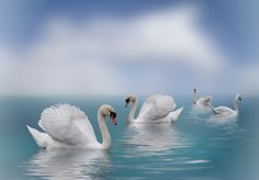 Swans in Paradise by Shirley Jean on 500px