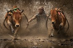 Pacu Djawi  ph. by Afif Farisi    Pacu Djawi is a cow race held by people of west sumatra