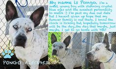 SAFE!! PAST DUE!!! ON TH EUTH LIST!! PONGO (A1556953)	I am a male white and brown Pointer and Dalmatian.  The shelter staff think I am about 1 year and 1 month old.  I was found as a stray and I am available for adoption at Miami Dade  https://www.facebook.com/photo.php?fbid=646608742040199&set=a.318535068180903.84492.191859757515102&type=1&permPage=1
