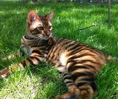 Toyger - Bing Images
