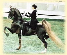 One of my favorite three-gaited Saddlebreds ever - Hollywood Excellence