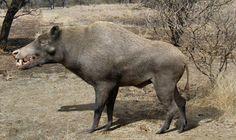 "Prehistoric taxonomy | Daeodon shoshonensis (""terrible pig"")..."