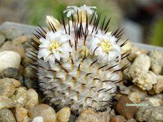 Mammillaria perezdelarosae v. andersoniana