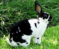 Mini Rex rabbits -- avg lil more than 3lbs and has ears that are about 2-3 in long. Tiny ears! suuuuper cute!