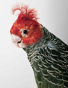 La photographe Leila Jeffreys nous présente ses portraits d'oiseaux, à la personnalité aussi unique que leurs plumages.