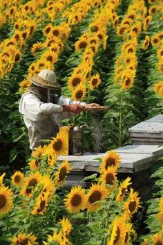 Beekeeping in Sunflower Fields. sunflowers draw bees in so they will pollinate other plants! Bees fav color is YELLOW! One of the few colors they can see.