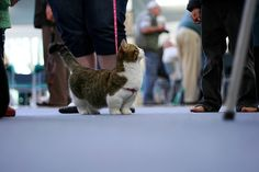 its a Munchkin cat... a dwarf cat. i never knew there was munchkin cats