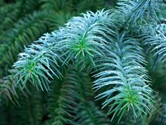 Join us today as we look at a large, evergreen tree known as China Fir (Cunninghamia lanceolata). Its blue foliage will stand out in any garden. Lantana Camara, Evergreen Shrubs, Blue Leaves, Herbs, Backyard, Plants, Bliss, Chinese, Gardening