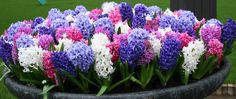 Ooh... the smell of Hyacinths | Flower Bulb Crazy