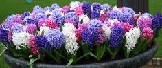 Ooh... the smell of Hyacinths   Flower Bulb Crazy