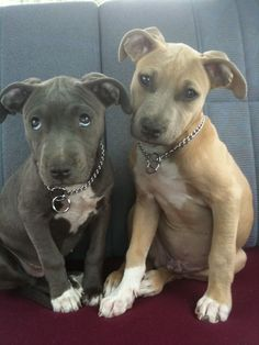 I love Pit Bulls! Just look at those eyes!!