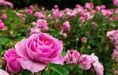 Iodul și laptele vă ajută în lupta contra afidelor pe trandafiri! - Retete Usoare