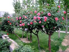 I'd like to grow rose trees like these in my yard...beautiful!