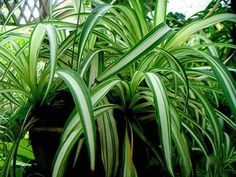 Learn exactly how to care for the spider plant or chlorophytum comosum, one of the easiest and most forgiving houseplants to grow. Outdoor Plants, Potted Plants, Harmful Plants, Trees To Plant, Plant Leaves, Airplane Plant, Organic Weed Control, Chlorophytum, Household Plants