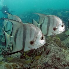 The Atlantic spadefish is a species of marine fish endemic to the shallow waters off the coast of the southeastern United States and in the Caribbean Sea. They are similar in appearance to fresh water angelfish, but much larger, reaching up to three feet (0.9 m) in length. Due to their reputation as strong fighters, they are popular game fish, especially during the summer months when they are most active.  Photo: Matthew Hoelscher, Papa Lima Whiskey