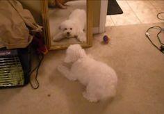 Cãozinho fofo se diverte com imagem no espelho! http://r7.com/OOhh (Foto: via Patas ao Alto)