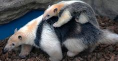 3 month old baby anteater with his mother.