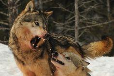 Wolf Courtship