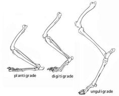 Gigadino - L'evolution des Arctoïdes