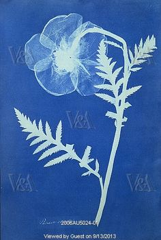 Poppy, photo Anna Atkins (1799-1871). Cyanotype. England, c.1852.
