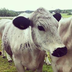 Swedish Mountain breed cow Fjällko