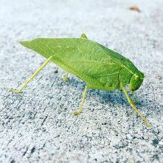 Couldve sworn it was a leaf.  #katydid #nature