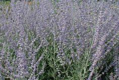Perovskia 'Blue Spire' - 'Blue Spire' boasts beautiful deep purple-blue flower borne on upright stems which contrast against silver-blue green foliage which is aromatic.