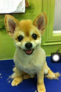 Shaved Pomeranian..... So adorable!!!