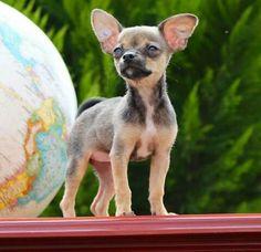 German Garmendia ha perdido a Mimi su perrita. Por favor si la encuentras pon el hastag #DondeEstaMimi y mandale una foto de como esta e intenta ponerte en contacto con el POR FAVOR!
