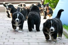 Berner sennenhond, great family dog and who doesn't want a cuddle with these!