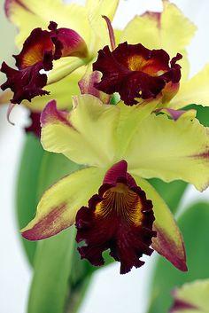 Maria Celia's Orchids