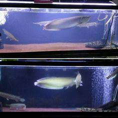 【kwys3669】さんのInstagramをピンしています。 《水換えしたが、なぜか前後で水の色が違う…上(水換え後)はブルーがかってる。アロワナも少し元気がなく尻尾が垂れてるように思える… ヤバイかな😨 #アロワナ #シルバーアロワナ #arowana #ガー #スポッテッドガー #ポリプテルス #エンドリケリー #古代魚 #love #カワイイ #hobby #水槽 #大型水槽 #肉食魚 #熱帯魚 #aquarium #アクアリウム #pet #petstagram #fishtank #fish #beautiful #恐ろしい #cute #かわいい #かっこいい #水族館 #危険 #趣味》