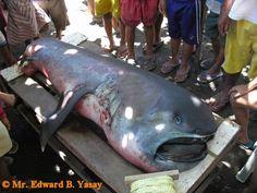 tiburon de las profundidades Megachasma pelagios  akyla-bolsherot16.jpg (1024×768)