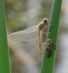 Newly emerged Dragonfly with it's larval skeleton