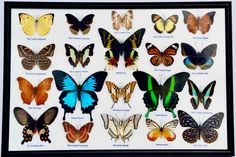 20 Rare Real Butterflies Framed Display / PAPILIO ULYSSES: BLUMEI: MADAGASCAR